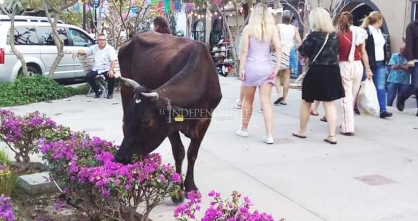 """Sin soluciones para el ganado suelto, vacas """"pasean"""" por el centro histórico de SJC"""