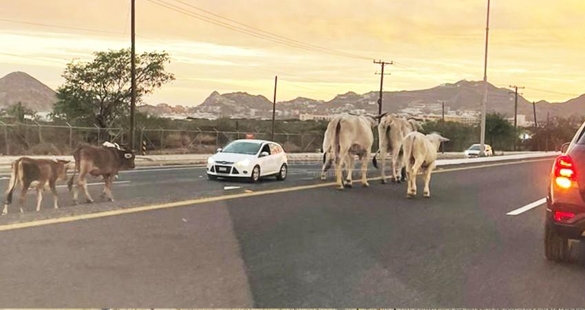 Riesgo latente la presencia de vacas y caballos en la carretera Transpeninsular