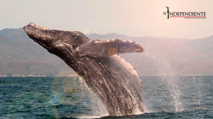 Dan fechas para avistamiento de ballenas en el país