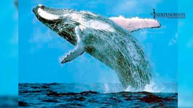 BCS es la cuna de la ballena gris: SEMARNAT