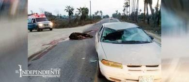 Ganado suelto en carreteras sigue provocando accidentes