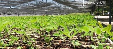 Entregará Conafor 770 mil plantas endémicas de BCS para reforestación
