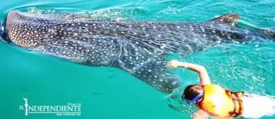 Prestadores de servicios de La Paz,  piden no se den permisos de tiburón ballena a foráneos