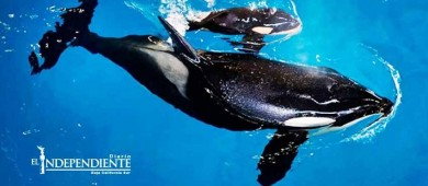Muere orca bebé en parque Sea World