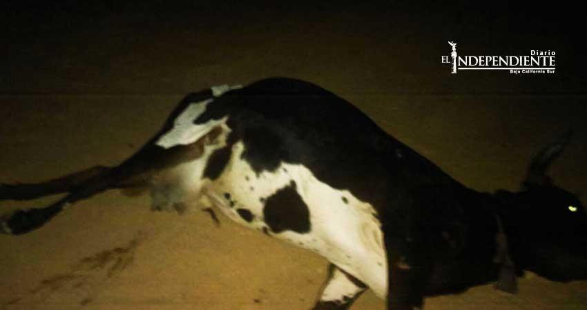 Sigue suelto el ganado provocando accidentes en Los Cabos