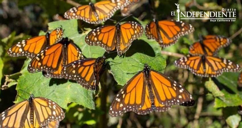 Así están salvando a la Mariposa Monarca en México
