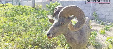Rescata PROFEPA ejemplar de borrego cimarrón que deambulaba en la colonia Chametla