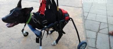 Promueve Sociedad Humanitaria la adopción de mascotas con discapacidad