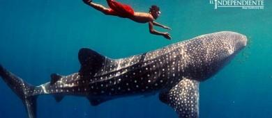Implementa  Semarnat  vigilancia con GPS para monitorear al tiburón ballena