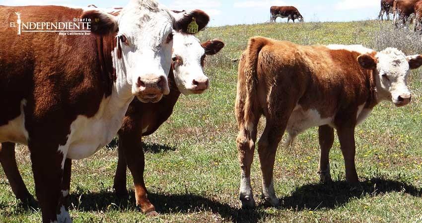 Se incrementa robo de ganado en BCS