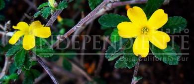 BCS cuenta con cerca de 369 especies de plantas medicinales