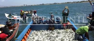 En 2017 aumentó más del 70% la producción de sardina en la entidad