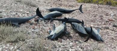 Mueren 18 delfines varados en Pichilingue