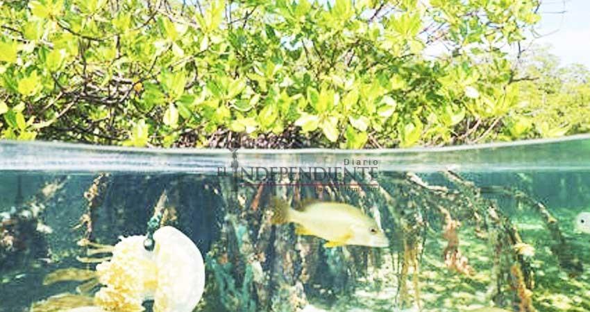 Solicita compañía permiso para dragar junto a manglares en Comondú