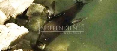 Detectan lobo marino enfermo en marina turística de CSL