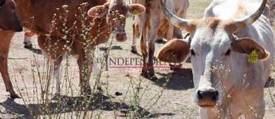 Por cada 10 casos de robo de ganado, por lo menos ocho no son denunciados
