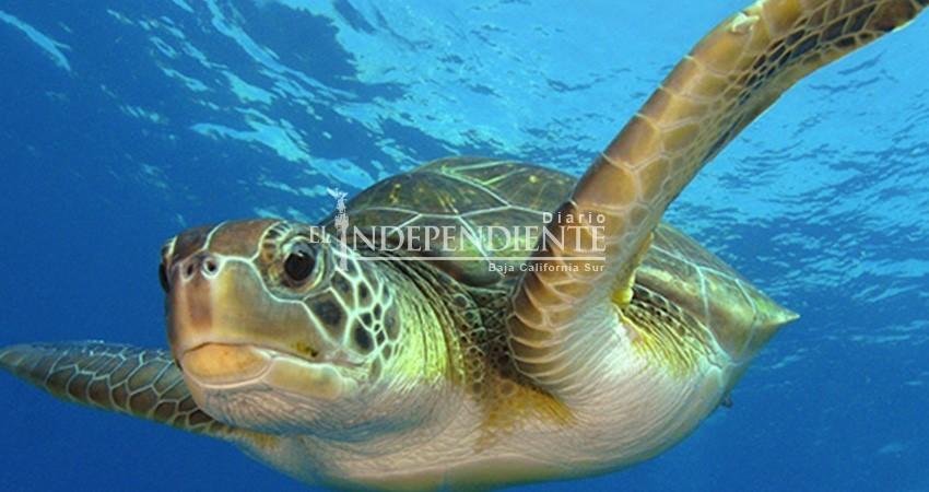 Declara Semarnat al Golfo de Ulloa como área de refugio para tortuga amarilla