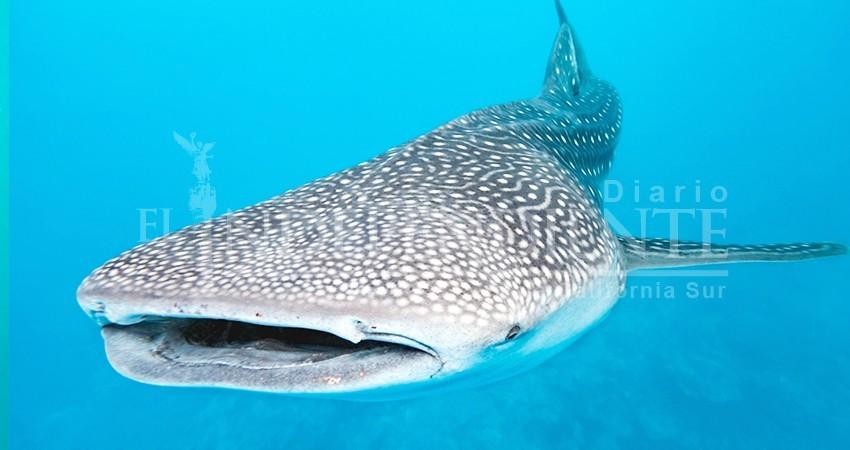 Hasta 200 tiburones ballena se observaron esta temporada en La Paz: Conanp
