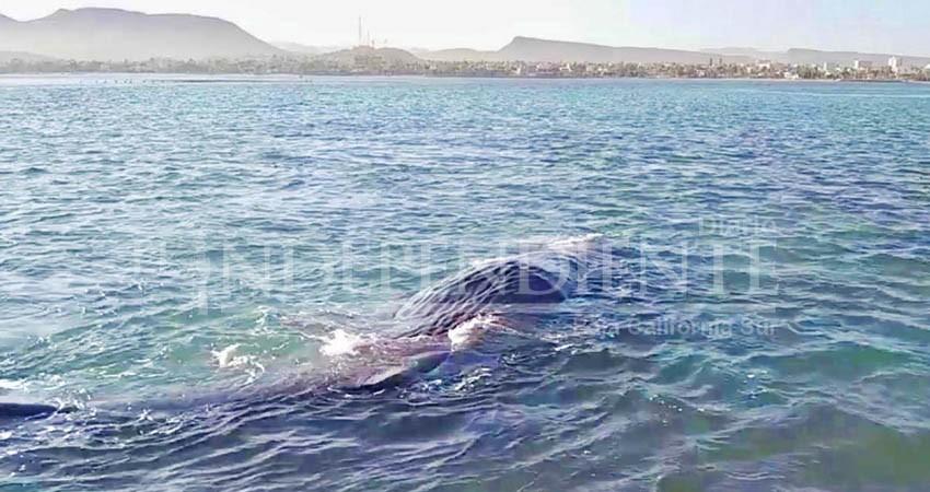 Rescatan a un cachalote varado Mogote de La Paz