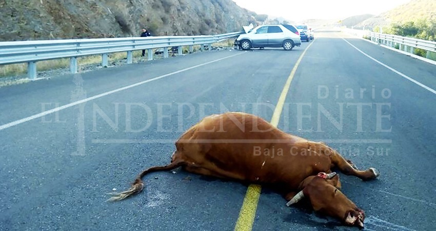 Ganaderos de La Paz acusan a la SCT del problema de ganado atropellado