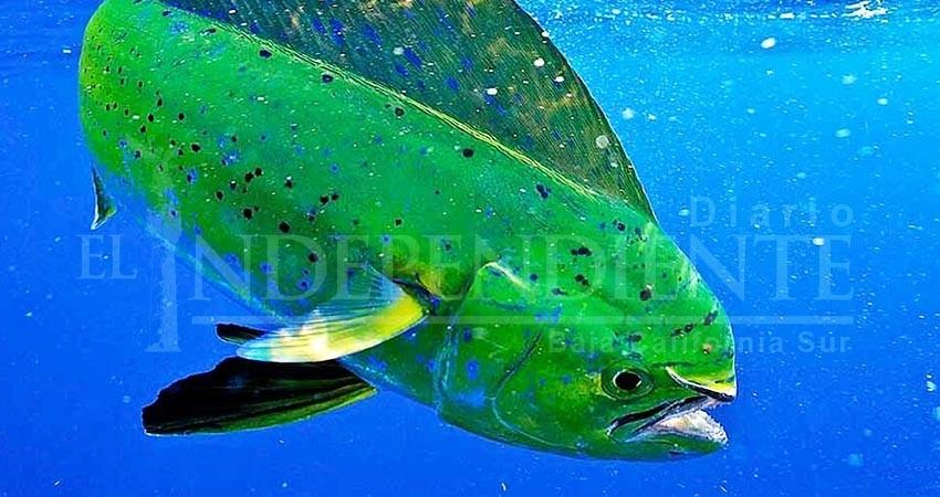 """El dorado es biológicamente """"idóneo"""" para la pesca comercial: Investigador"""