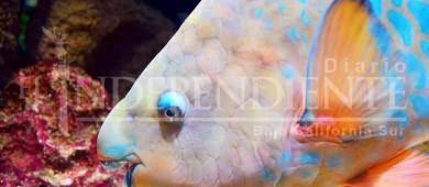 Fedecoop a favor de la protección del pez perico en BCS