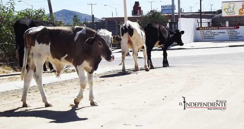 Necesario implementar acciones para evitar ganado suelto en carreteras: Sandez Puppo
