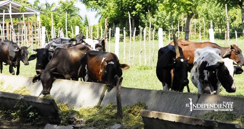 Está BCS  en proceso de ser zona libre de garrapatas en ganado