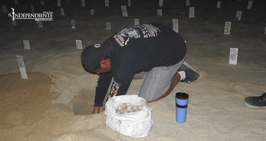 En 17 años se han liberado más de 2 millones de tortugas en playas de Los Cabos