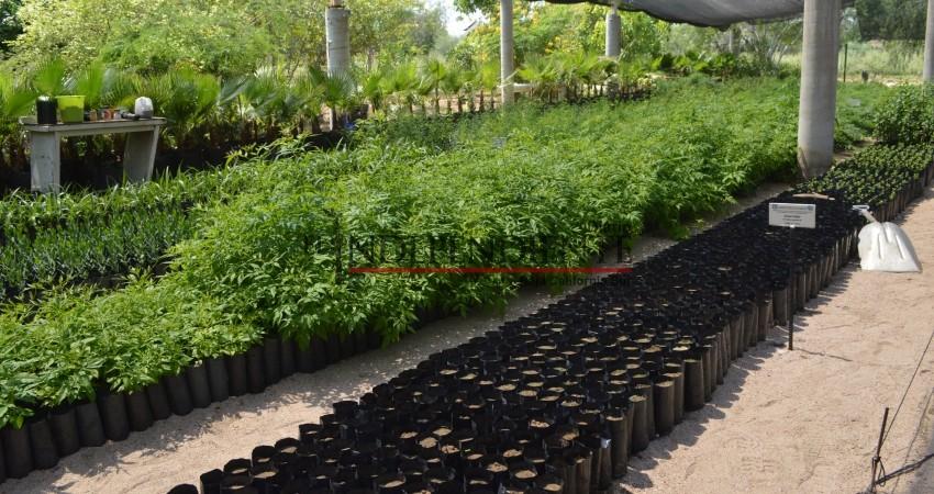 Produce UABCS 10,000 plantas para programa de reforestación de CONAFOR