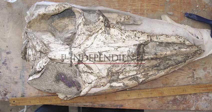 Descubren especie de ballena que habitó BCS hace 23 millones de años