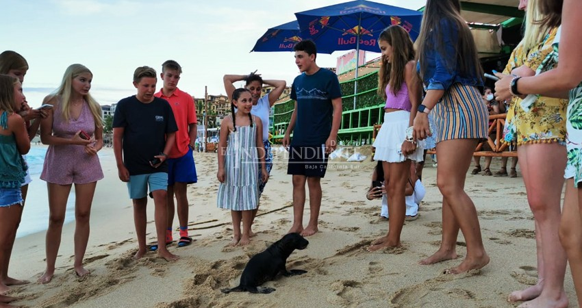 Sorprende a bañistas cría de Lobo Marino merodeando en playas de CSL