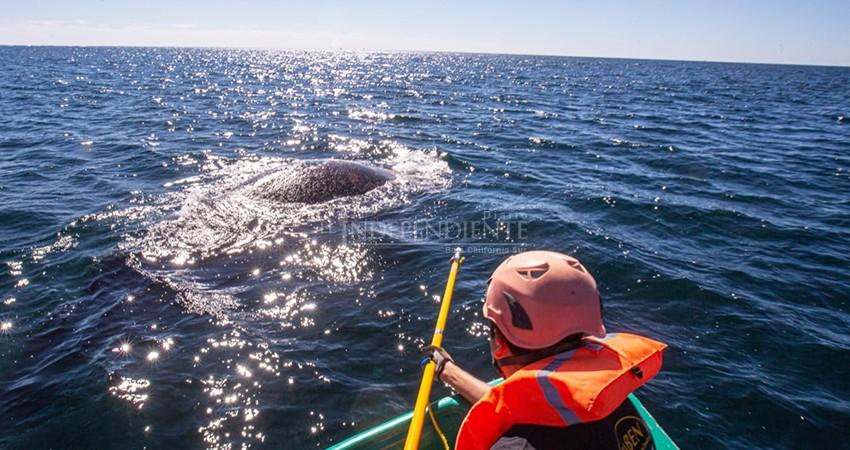 Rescata a ballena atrapada en redes de pesca