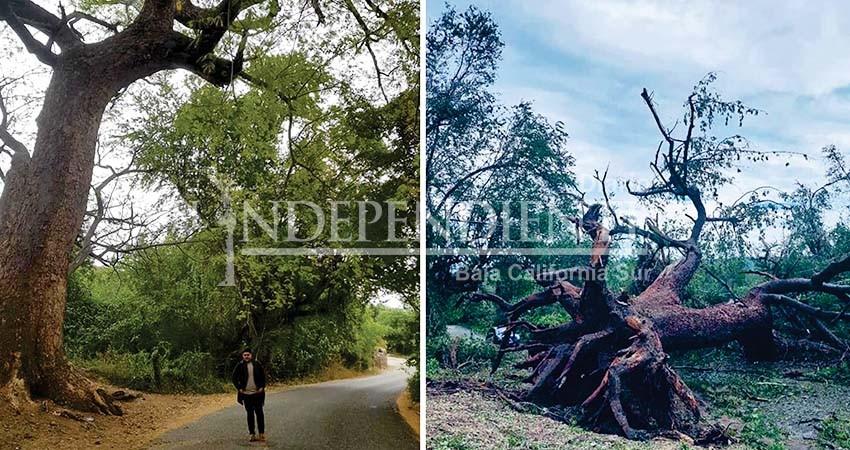 Los vientos de Olaf derribaron el árbol de fuego en Caduaño